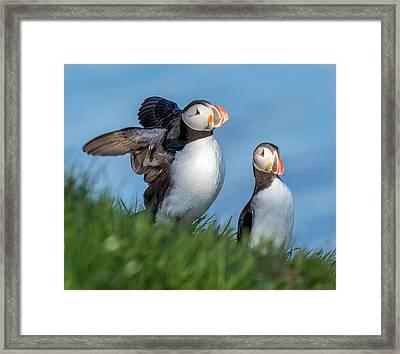 Iceland Puffing It Up Framed Print