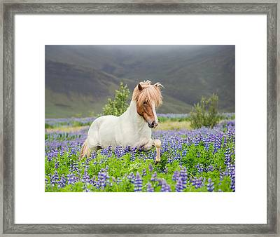 Icelandic Horse Running In Lupine Framed Print by Panoramic Images