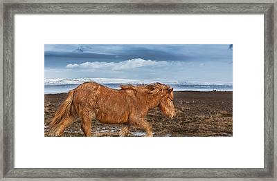 Icelandic Horse With Winter Fur, Iceland Framed Print