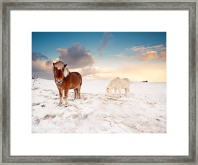 Icelandic Horses On Winter Day Framed Print