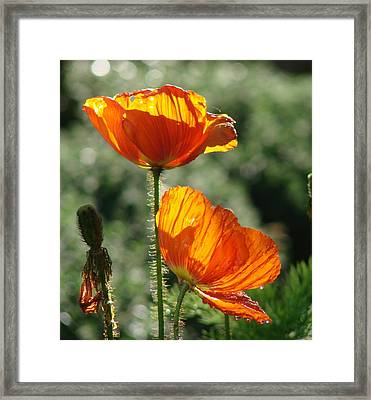Icelandic Poppies Framed Print