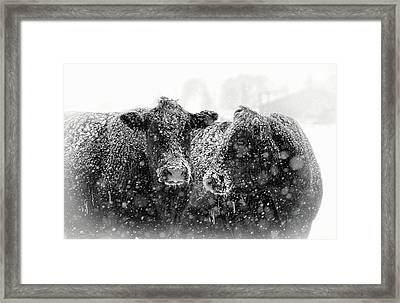 Icicles On My Nose Black Angus Cows Framed Print by Jennie Marie Schell