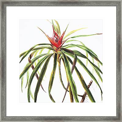 Ieie Plant Framed Print by Hawaiian Legacy Archive - Printscapes