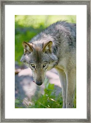 If Looks Could Kill Framed Print by Michael Cummings