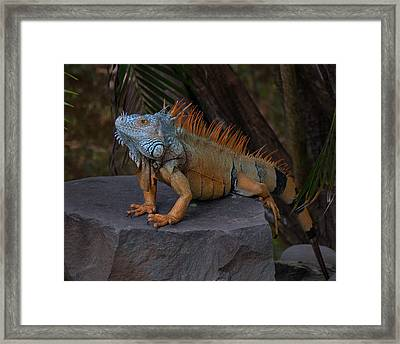 Framed Print featuring the photograph Iguana 2 by Jim Walls PhotoArtist
