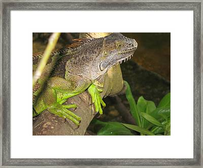 Iguana - A Special Garden Guest Framed Print by Christiane Schulze Art And Photography