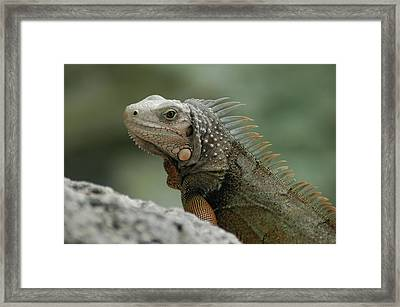 Framed Print featuring the photograph Iguana Bay by Lori Mellen-Pagliaro