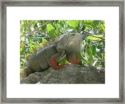 Iguana Daze Framed Print by Nancy Taylor