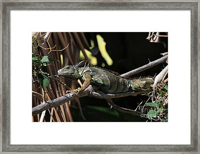 Framed Print featuring the photograph Iguana by Edward R Wisell