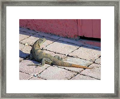 Iguana On The Street Framed Print