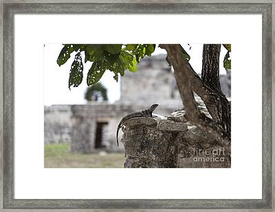 Iguana Perched On Mayan Ruins In Tulum Mexico Framed Print