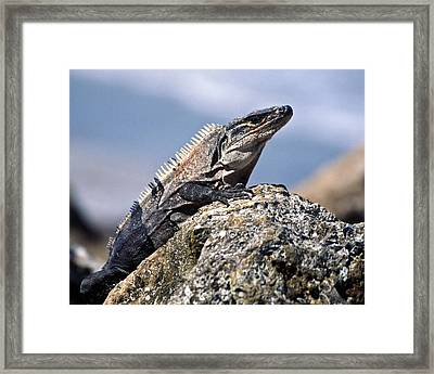 Framed Print featuring the photograph Iguana by Sally Weigand