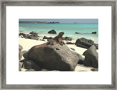 Iguana Sunning Framed Print by Alan Lenk