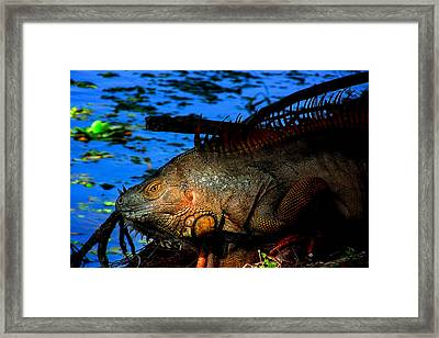 Iguana Sunrise Framed Print by Mark Andrew Thomas