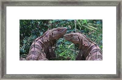 Iguanas  Framed Print