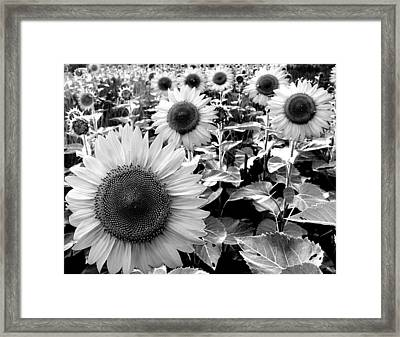Illinois Sunflowers Framed Print by Todd Fox
