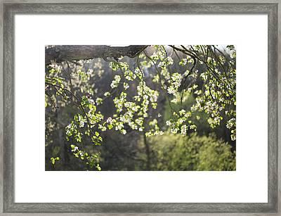 Illuminated Apple Blossoms Framed Print by Indigo Schneider