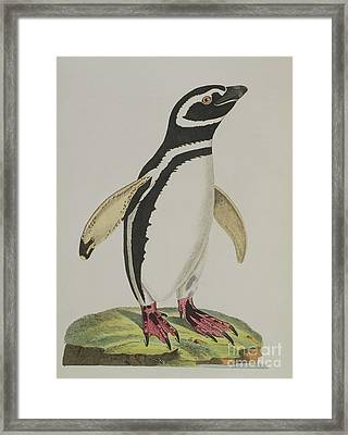 Illustration Of A Penguin Framed Print
