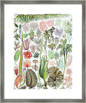 Illustration Of Algae And Seaweed  Framed Print