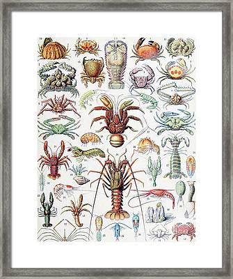 Illustration Of Crustaceans, 1923 Framed Print