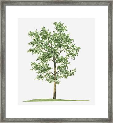 Illustration Of Pterocarpus Santalinus (red Sandalwood) Evergreen Tree Framed Print