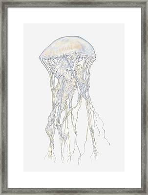 Illustration Of Sand Jellyfish (rhopilema Sp) Framed Print