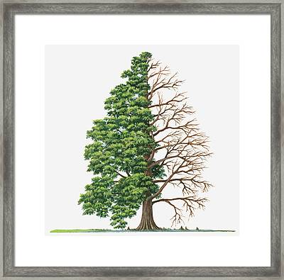 Illustration Showing Shape Of Deciduous Taxodium Distichum (bald-cypress, Swamp Cypress) Tree With Green Summer Foliage And Bare Winter Branches Framed Print
