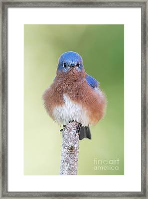 I May Be Fluffy But I'm No Powder Puff Framed Print by Bonnie Barry