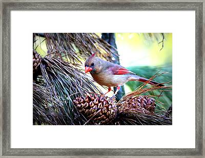 Img_0311 - Northern Cardinal Framed Print