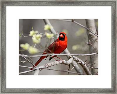Img_2027-004 - Northern Cardinal Framed Print