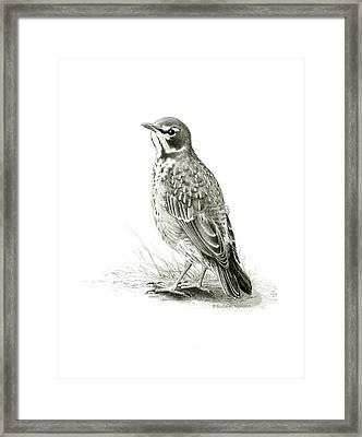 Immature American Robin Framed Print by Bruce Morrison