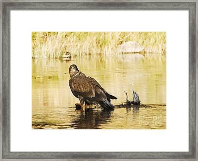 Immature Bald Eagle Framed Print by Dennis Hammer