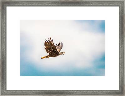 Framed Print featuring the photograph Immature Bald Eagle by Onyonet  Photo Studios