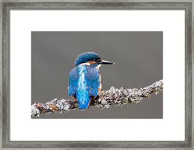 Framed Print featuring the photograph Immature Common Kingfisher by Phil Stone