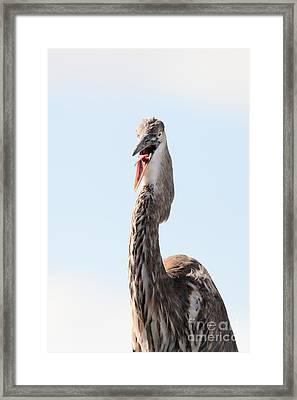 Immature Great Blue Heron Sticks Toungue Out Framed Print by Matt Suess