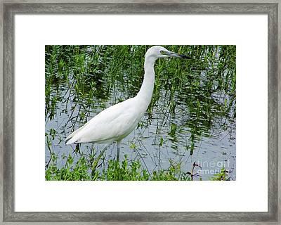 Immature Little Blue Heron Framed Print by D Hackett