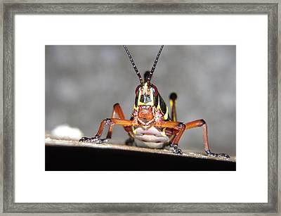 Framed Print featuring the photograph Immature Lubber  by Don Youngclaus
