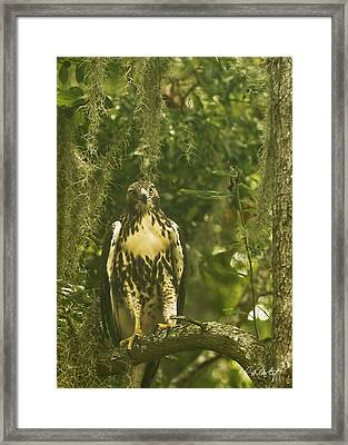 Immature Red-tail Hawk Framed Print by Phill Doherty
