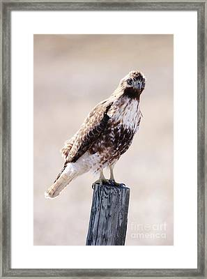 Immature Red Tailed Hawk Framed Print