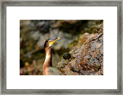 Framed Print featuring the photograph Immature Shag by Richard Patmore