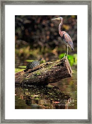 Immature Tri-colored Heron And Peninsula Cooter Turtle Framed Print by Matt Suess