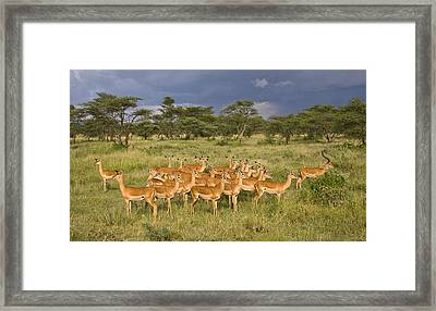 Impala Herd - Serengeti Plains Framed Print