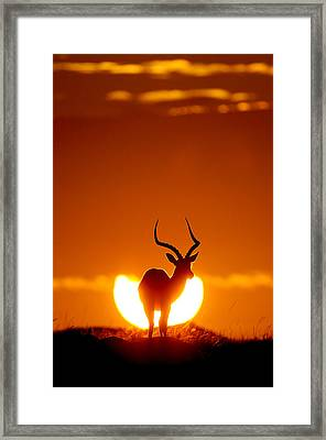 Impala In The Sun Framed Print by Muriel Vekemans