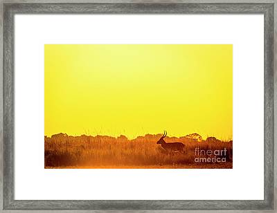 Impala Sunset Silhouette Framed Print by Tim Hester