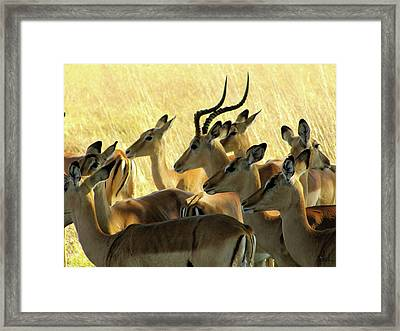 Impalas In The Plains Framed Print
