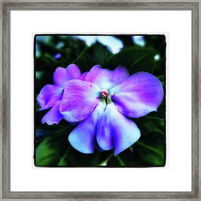 Framed Print featuring the photograph Impatiens. Also Known As our Lady's by Mr Photojimsf