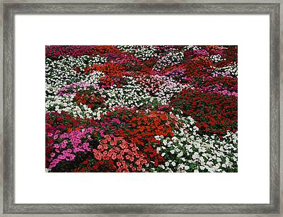 Impatiens Framed Print by Panoramic Images