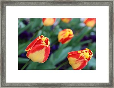 Impression Of Yellow-red Tulips Framed Print by Rusalka Koroleva