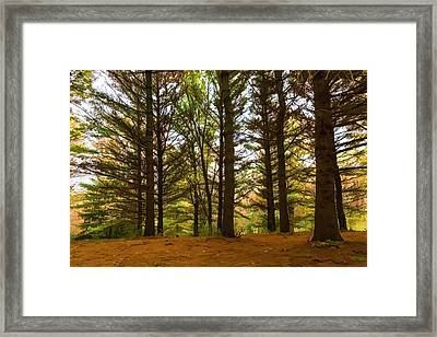 Impressions Of Forests - Through The Lace Of Pine Branches Framed Print