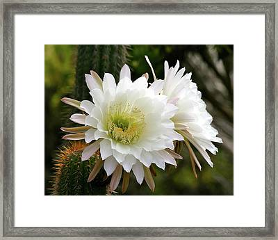 Framed Print featuring the photograph Cactus Blossoms by Melanie Alexandra Price